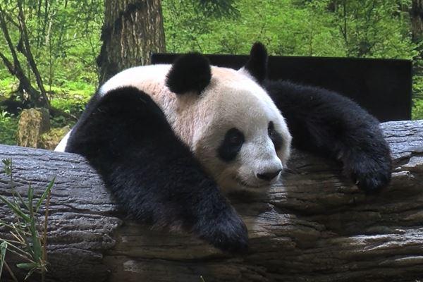 上野動物園パンダのリーリー&シンシンがお引っ越し   女性自身